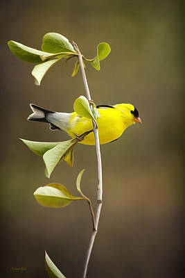 Rollo Mixed Media - American Goldfinch by Christina Rollo