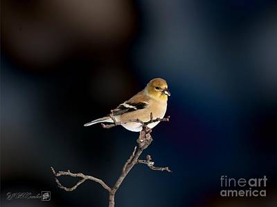 Painting - American Goldfinch In Winter by J McCombie