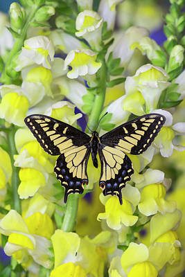 Blue Swallowtail Photograph - Anise Swallowtail Butterfly, Papilio by Darrell Gulin