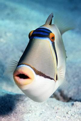Triggerfish Photograph - Arabian Picasso Triggerfish by Georgette Douwma