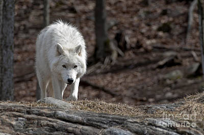 Art Print featuring the photograph Arctic Wolf by Wolves Only