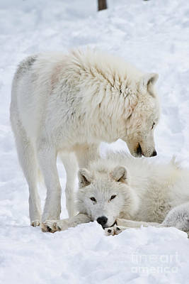 Arctic Wolves Print by Michael Cummings