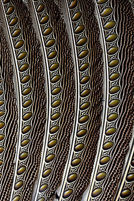 Pheasant Photograph - Argus Pheasant Wing Feather Design by Darrell Gulin