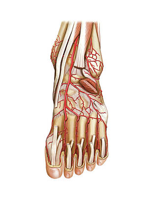Arterial System Of The Foot Art Print by Asklepios Medical Atlas