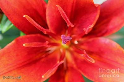 Photograph - Asiatic Lily Named Red Twin by J McCombie
