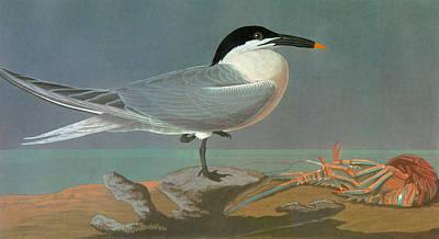 Sandwich Painting - Audubon Tern by Granger