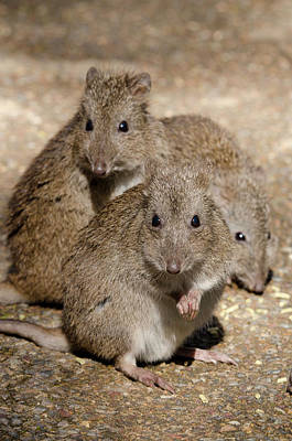 Marsupial Photograph - Australia, Adelaide by Cindy Miller Hopkins
