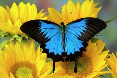 Blue Swallowtail Photograph - Australian Mountain Blue Swallowtail by Darrell Gulin