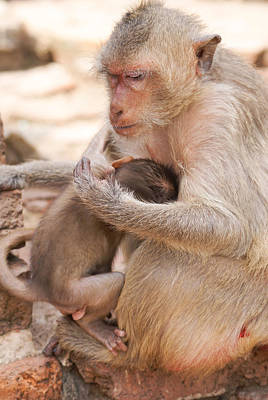 Old Masters - Baby Macaques by Carol Ailles