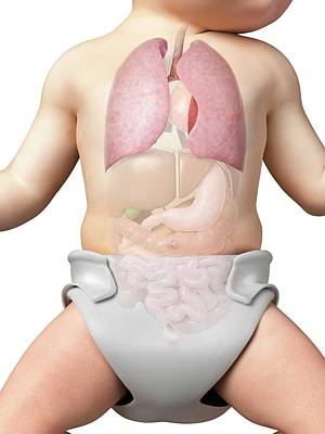 Front View Photograph - Baby's Lungs by Sebastian Kaulitzki
