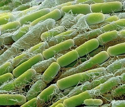 Bacillus Megaterium Bacteria Art Print
