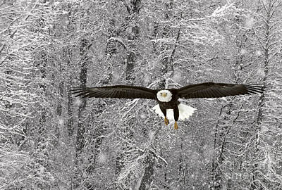 Photograph - Bald Eagle In Flight by Ron Sanford