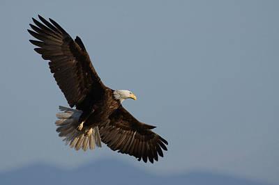 Eagle Photograph - Bald Eagle by Ken Archer