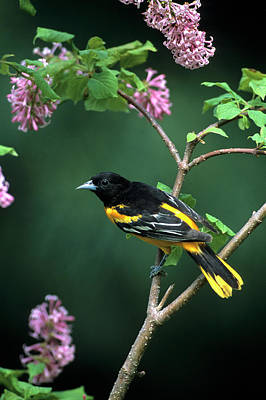 Baltimore Photograph - Baltimore Oriole (icterus Galbula by Richard and Susan Day