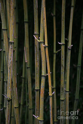 Photograph - Bamboo by Timothy Johnson
