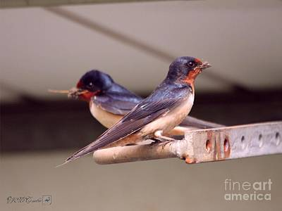 Photograph - Barn Swallows Constructing Their Nest by J McCombie