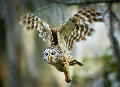 Barred Owl Photograph - Barred Owl (strix Varia by Larry Ditto