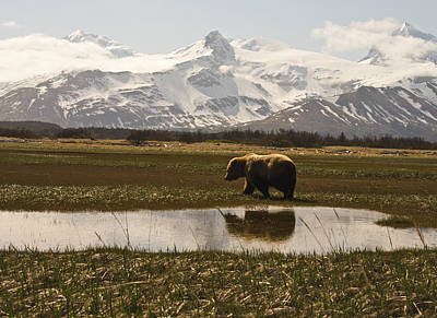 Photograph - Bear In Hallo Bay In Katmai National Park Alaska by Natasha Bishop