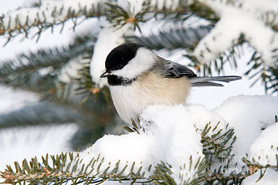 Us Fauna Photograph - Black-capped Chickadee by Linda Freshwaters Arndt