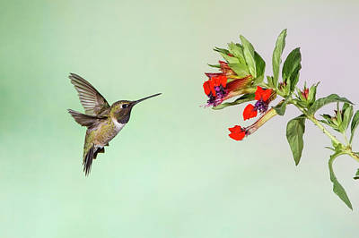 Black-chinned Hummingbird (archilochus Art Print by Larry Ditto