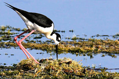 Photograph - Black-necked Stilt by Ira Runyan