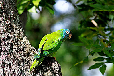 Photograph - Blue-crowned Parakeet by Ira Runyan