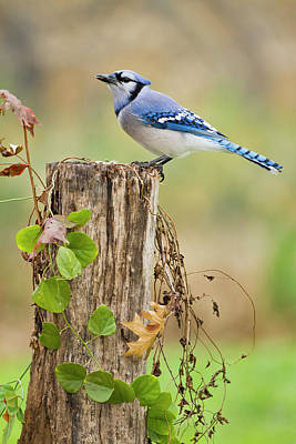 Blue Jay Photograph - Blue Jay (cyanocitta Cristata by Larry Ditto