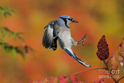 Quebec Fauna Photograph - Blue Jay by Scott Linstead