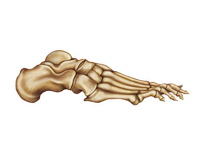 Bones Of The Foot Print by Asklepios Medical Atlas
