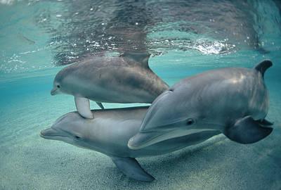 Bottlenose Dolphin Photograph - Bottlenose Dolphin  Trio Hawaii by Flip Nicklin