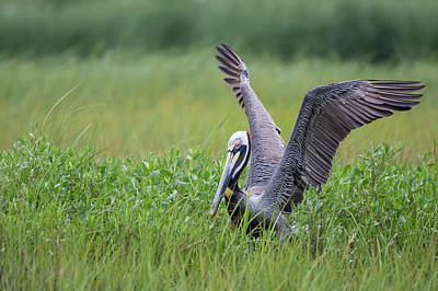 Galveston Photograph - Brown Pelican (pelecanus Occidentalis by Larry Ditto