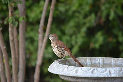 Brown Thrasher  Original by Ruth  Housley