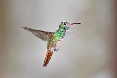 Amazilia Photograph - Buff-bellied Hummingbird (amazilia by Larry Ditto
