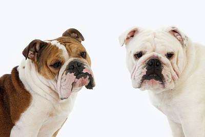 Bitch Photograph - Bulldog Anglais by Gerard Lacz