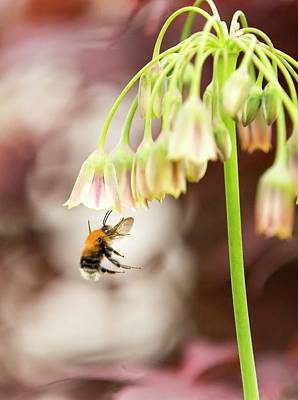 Bumble Bee Photograph - Bumble Bee Gathering Pollen by Ashley Cooper