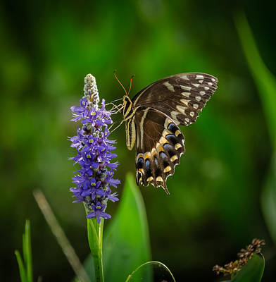 Bird Rookery Swamp Photograph - Butterfly by Bill Martin