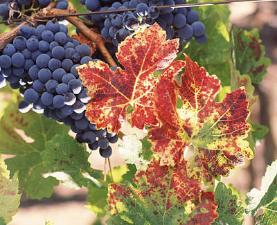 Cabernet Photograph - Cabernet Sauvignon Grapes In Vineyard by Panoramic Images