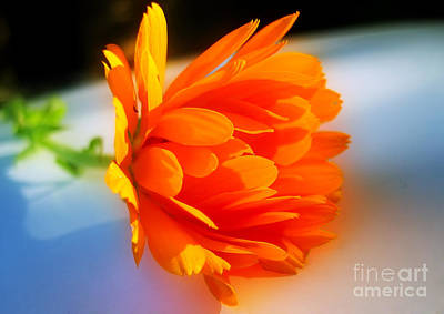 Photograph - Calendula by Nina Ficur Feenan