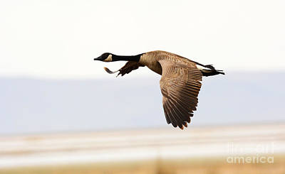 Fine Dining - Canadian Goose by Dennis Hammer