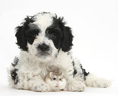 Hamster Baby Photograph - Cavapoo Puppy And Roborovski Hamster by Mark Taylor