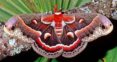 Photograph - Cecropia Moth Hyalophora Cecropia by Millard H. Sharp