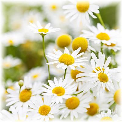 Daisy Photograph - Chamomile Flowers by Elena Elisseeva