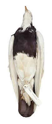 Charles Darwin's Pigeons Art Print