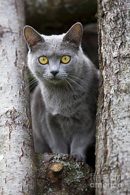 Chartreux Wall Art - Photograph - Chartreux Cat by Jean-Michel Labat