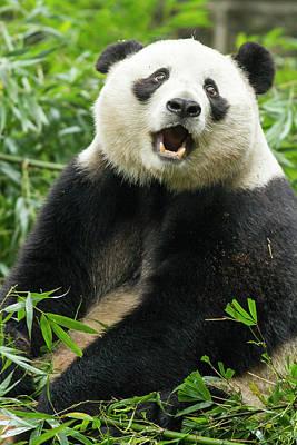 Panda Bears Photograph - China, Sichuan Province, Chengdu, Giant by Paul Souders