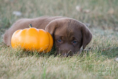 Chocolate Labrador Puppy Art Print by Linda Freshwaters Arndt