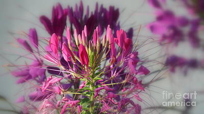 Photograph - Cleome  by France Laliberte