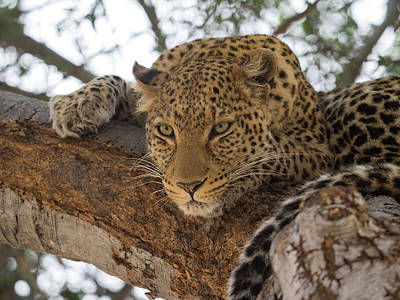 Close-up Of A Leopard Panthera Pardus Print by Panoramic Images