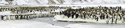 Aptenodytes Photograph - Colony Of King Penguins Aptenodytes by Panoramic Images