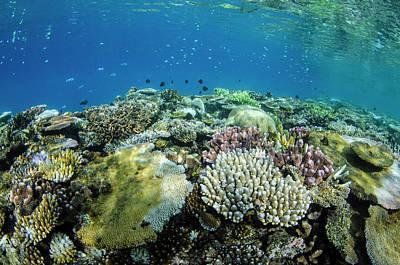 Coral Reef Diversity, Fiji Art Print by Pete Oxford